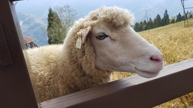 CingJing Sheep Farm 009.jpg