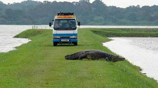 croc at kranji 01.jpg