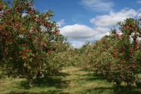 Apple-Tree's Photo